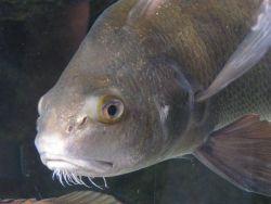 Redfish face taken while fish swimming in tank. Photo