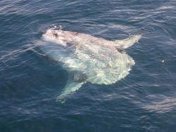 Ocean sunfish (Mola mola) basking in the sun Photo