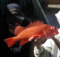 Vermilion rockfish (Sebastes miniatus) on board the F/V Excalibur Photo
