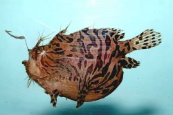 Striped anglerfish ( Antennarius striatus ) Photo