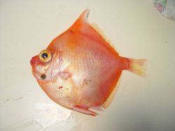 Adult boarfish ( Antigonia capros ) Photo