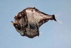Atlantic silver hatchetfish ( Argyropelecus aculeatus ) Image