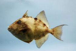 Gray triggerfish ( Balistes capriscus ) Photo