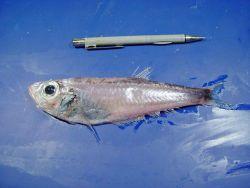 A member of the family of deepsea herrings ( Bathyclupea argentea ) Image