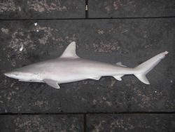 Blacknose shark ( Carcharhinus acronotus ) Photo