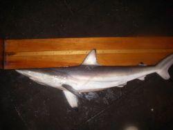Spinner shark ( Carcharhinus brevipinna ) Photo
