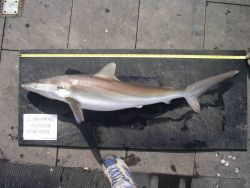 Silky shark ( Carcharhinus falciformis ) Photo