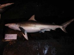 Finetooth shark ( Carcharhinus isodon ) Photo