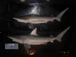 Blacktip shark (Carcharhinus limbatus ) Photo
