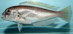 Anchor tilefish (Caulolatilus intermedius ) Photo
