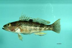 Rock sea bass ( Centropristis philadelphica ) Photo