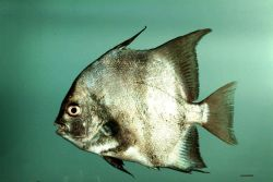 Atlantic spadefish ( Chaetodipterus faber ) Photo