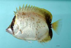 Reef butterflyfish ( Chaetodon sedentarius ) Photo