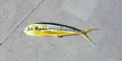 Dolphinfish ( Coryphaena hippurus ) Photo