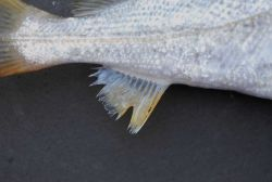 Anal fin of sand weakfish, also known as sand sea trout, ( Cynoscion arenarius ) Image