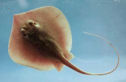 Atlantic stingray ( Dasyatis sabina ) Photo