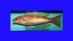 Red hogfish ( Decodon puellaris ) Photo