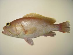 Yellowedge grouper ( Epinephelus flavolimbatus ) Photo