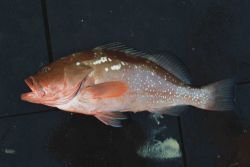 Red grouper ( Epinephelus morio ) Photo