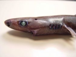 Blurred smooth lantern shark ( Etmopterus bigelowi ) Photo