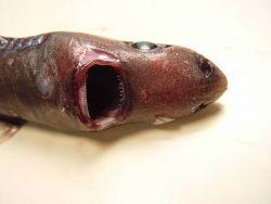 Blurred smooth lantern shark ( Etmopterus bigelowi ) Photo