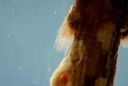 Pectoral fin of fringefin lanternshark ( Etmopterus schultzi ) Photo