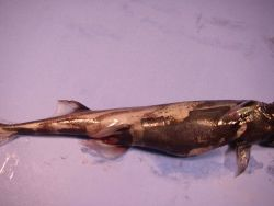 Green lanternshark ( Etmopterus virens ) Photo