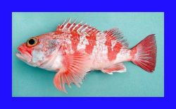 Blackbelly rosefish ( Helicolenus dactylopterus ) Photo