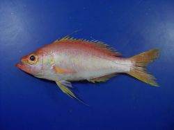 Longtail bass ( Hemanthias leptus ) Photo