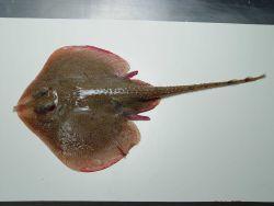 Speckled skate ( Leucoraja lentiginosa ) Photo