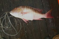 Mutton snapper (Lutjanus analis) Photo