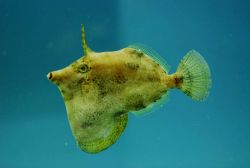 Fringed filefish (Monacanthus ciliatus) Photo