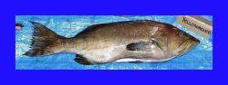 Yellowmouth grouper (Mycteroperca interstitialis) Photo