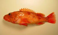 A large spinycheek scorpionfish (Neomerinthe hemingwayi) Photo