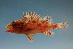 Juvenile spinycheek scorpionfish (Neomerinthe hemingwayi) Photo