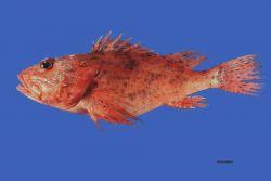 Spinycheek scorpionfish (Neomerinthe hemingwayi) Photo