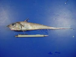 A species of grenadier or rattail fish (Nezumia cyrano) Image