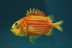 Bigeye soldierfish (Ostichthys trachypoma ) Photo