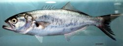 Bluefish ( Pomatomus saltatrix ) Photo