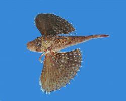 Blackwing searobin ( Prionotus rubio ) Photo