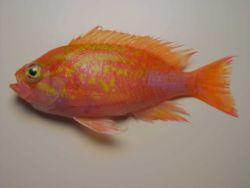 Roughtongue bass ( Pronotogrammus martinicensis ) Photo