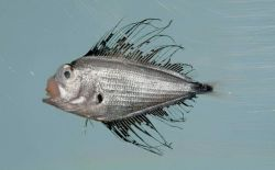 Atlantic fanfish or silver sea bream ( Pterycombus brama ) Photo