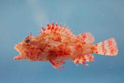 Hunchback scorpionfish ( Scorpaena dispar ) Photo