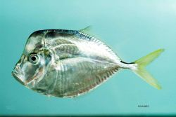 Atlantic moonfish ( Selene setapinnis ) Image