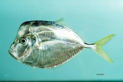 Atlantic moonfish ( Selene setapinnis ) Photo