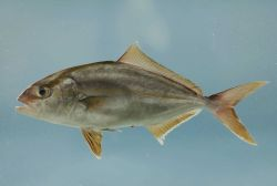 Adult greater amberjack ( Seriola dumerili ) Photo