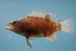Belted sandfish ( Serranus subligarius ) Photo