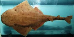 Sand devil or Atlantic angel shark ( Squatina dumeril ) Photo