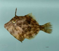 Planehead filefish ( Stephanolepis hispida ) Photo