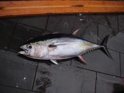 Yellowfin tuna ( Thunnus albacares ) Photo